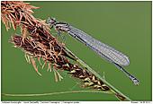 Hufeisen-Azurjungfer - Weibchen der Hufeisen-Azurjungfer