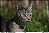 Hauskatze - Katze auf der Pirsch