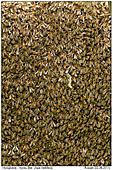 Honigbienen - Schwärmende Honigbienen