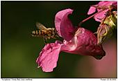 Honigbiene - Landeklappen ausfahren
