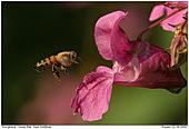 Honigbiene - Honigbiene