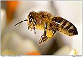 Biene - Honigbiene im Flug