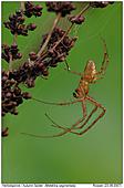 Herbstspinne - Herbstspinne Männchen