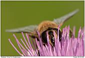 Mistbiene - Schwebefliege auf Distel