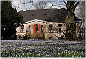 Krokus - Krokusblüte auf Flarupgaard