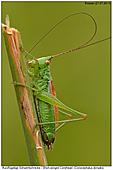 Kurzflügelige Schwertschrecke - Kurzflügelige Schwertschrecke
