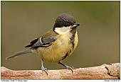 Kohlmeise - juvenil - Kohlmeise - Jungvogel
