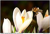 Honigbiene - Biene in Krokuswiese