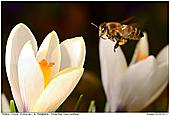 Honigbiene - Honigbiene in Krokuswiese