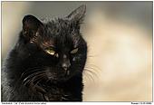 Hauskatze - Verwilderte Katze