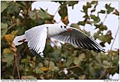 Lachmöwe - Lachmöwe im Flug