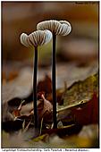 Langstieliger Knoblauchschwindling - Herbstblumen