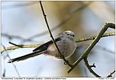 Schwanzmeise - Ein Federbällchen