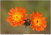 Orangerotes Habichtskraut - Orangerotes Habichtskraut