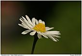 Gänseblümchen - Gänseblümchen