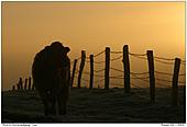 Rind - Rind im Sonnenaufgang