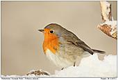 Rotkehlchen - Rotkehlchen im Schnee