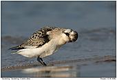 Sanderling - Den Kopf schütteln