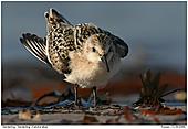 Sanderling - Sanderling