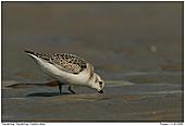 Sanderling - Sanderling am Strand