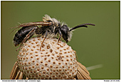 Weidensandbiene - Weidensandbiene