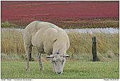 Schaf - Schaf vor Salzwiese mit Queller