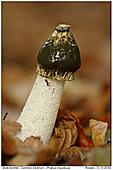 Stinkmorchel - Stinkmorchel mit Ameise