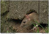 Wanderratte - Wanderratte am Rattenloch
