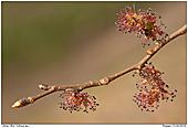 Ulme - Ulme - Ulmenblüten