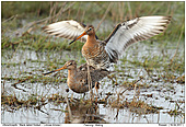 Uferschnepfe - Paarung von Uferschnepfen