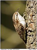 Waldbaumläufer - Waldbaumläufer