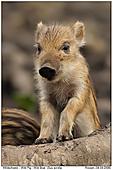 Wildschwein - Wildschwein - Frischling