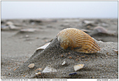 Gewöhnliche Herzmuschel - Gewöhnliche Herzmuschel am Strand