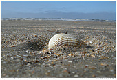 Herzmuschel - Herzmuschel am Strand