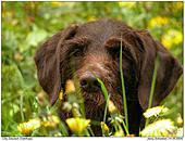 Hunde - Cilla - Deutsch Drahthaar