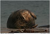 Kegelrobbe - Kegelrobbe entspannt sich am Strand