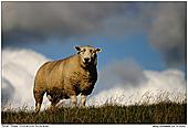 Hausschaf - Schaf auf dem Deich