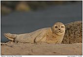 Seehund  - Seehundbaby