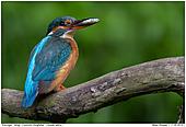 Eisvogel - Eisvogel - Weibchen