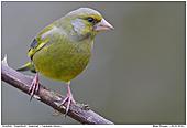 Grünfink - Grünfink Männchen