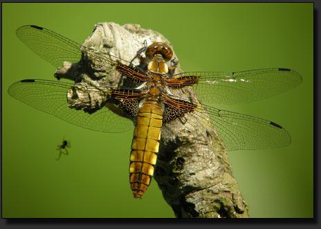 Libelle, fotografiert mit Nikon Coolpix P5100 und Kowa Spektiv bei einer Empfindlichkeit von ISO64.